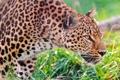 Картинка профиль, трава, внимательно, стоит, наблюдает, леопард