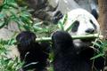 Картинка панда, медведь, бамбук