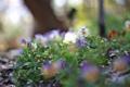 Картинка цветы, роса, блики, анютины глазки, клумба