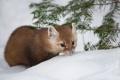 Картинка зима, снег, природа, Pine Marten