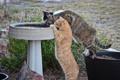 Картинка кошки, жажда, коты, водопой