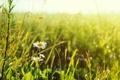 Картинка цветочек, wallpaper, трава, белый, widescreen, цветочки, фон