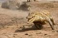 Картинка крокодил, бег, пасть
