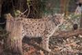 Картинка лес, листья, хищник, рысь, дикая кошка