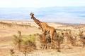 Картинка природа, Африка, жирафа