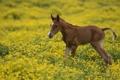 Картинка поле, цветы, Лошадь, жеребенок