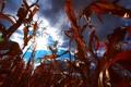 Картинка поле, небо, облака, кукуруза
