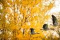 Картинка осень, природа, утки