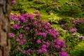 Картинка цветы, природа, цветение, кустарники