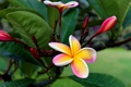 Картинка цветок, листья, ветка, лепестки, плюмерия, франжипани