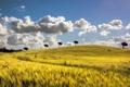 Картинка облака, колосья, небо, холмы, маки, поле, деревья
