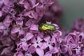Картинка макро, цветы, насекомые, природа, жук, растения, сирень