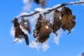 Картинка листья, снег, природа, ветка