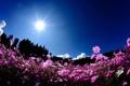 Картинка поле, солнце, деревья, цветы, полевые, космея, росовые