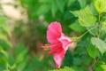 Картинка цветок, листья, красный, растение, гибискус