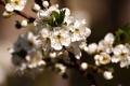 Картинка листья, ветка, вишня, цветы