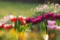 Картинка блики, тюльпаны, клумба, разноцветные