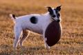 Картинка поле, собака, мячь