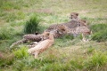 Картинка трава, кошки, отдых, семья, гепарды