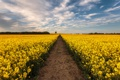 Картинка дорога, поле, цветы, желтые