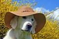 Картинка собака, лето, шляпа