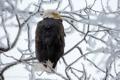 Картинка снег, ветки, орёл