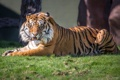 Картинка взгляд, тигр, хищник, оскал, суматранский