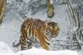 Картинка зима, снег, тигр