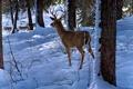 Картинка зима, лес, снег, олень, арт, волки, Ron S. Parker