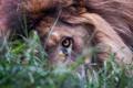 Картинка глаз, лев, трава, взгляд