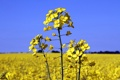 Картинка поле, небо, растение, рапс, canola