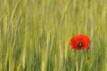 Картинка поле, цветок, цветы, красный, мак, колоски