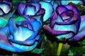 Картинка цвет, куст, розы, лепестки, стебель, бутон, клумба