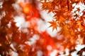 Картинка осень, листья, красные, клен, крона