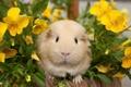 Картинка цветы, морская свинка, анютины глазки