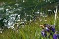 Картинка лето, трава, цветы, фото, бабочка, ирис