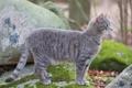 Картинка кот, мох, стоит, серая, камни, кошка