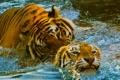 Картинка бассейн, зоопарк, игра, тигр, пара