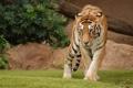 Картинка взгляд, Тигрица, неспешная походка