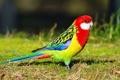 Картинка трава, перья, попугай, окрас, восточная розелла
