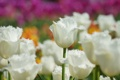 Картинка цветы, фокус, тюльпаны, белые, приода