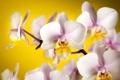 Картинка белые, желтый, орхидеи, фон, лепестки, цветы