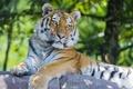 Картинка Амурский тигр, хищник, камень