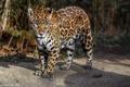 Картинка пятна, дикая кошка, морда, хищник, ягуар