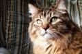 Картинка кошка, Кот, норвежская лесная кошка