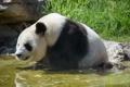 Картинка медведь, купание, панда, водоём