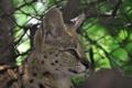 Картинка морда, хищник, профиль, уши, дикая кошка, сервал, кустарниковая кошка