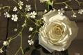 Картинка роза, лепестки, бутон, белая роза