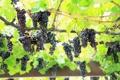 Картинка листья, лоза, виноград, зеленые, природа, грозди