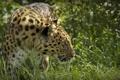 Картинка дикая кошка, профиль, морда, трава, © Ania Jones, хищник, амурский леопард